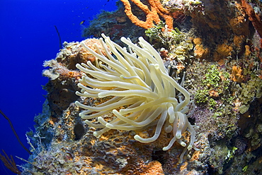 Bubble-tipped Anemone (Condylactis gigantea), lovely anemone with tentacles extended on colourful coral wall, Little Cayman Island, Cayman Islands, Caribbean