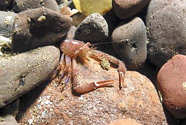 Long Clawed Squat Lobster (Munida rugosa), Juvenile amidst reddish brown rocks, St Abbs, Scotland, UK North Sea