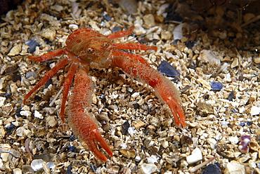 (Galathea nexa), brilliant orange-coloured, hairy British squat lobster on gravel seabed, St Abbs, Scotland, UK North Sea