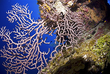 Deepwater gorgonian sea fan (Iciligorgia schrammi), Blue sea background Little Cayman Island, Cayman Islands, Caribbean