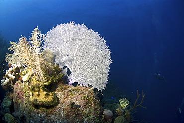 Venus Sea Fan (Gorgonia flabellum), typical shallow water sea fan of the Caribbeab Little Cayman Island, Cayman Islands, Caribbean