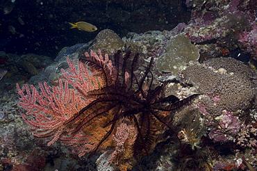 Comanthina Crinoid (Comaster gracilis) dark feather starfish crinoid on pink Sea Fan, Sipidan, Mabul, Malaysia.
