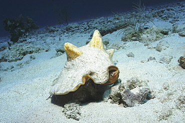 Queen conch (Strombus gigas) large edible mollusc on sandy seabed Little Cayman Island, Cayman Islands, Caribbean