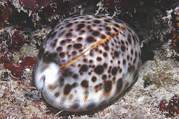 Tiger Cowrie (Cyprae tigris), shell with mantle retracted, Rurutu, French Polynesia Underwater.