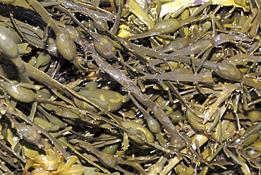 Knotted Wrack (Ascophyllum nodosum), one of the largest wrack species with distinctive nodules, St Abbs, Scotland, UK NORTH SEA