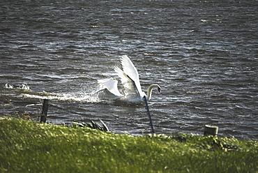 Bewick Swans fighting/mating (Olor columbianus), Orkney islands, Scotland, UK