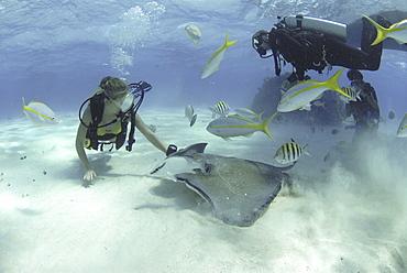 Diver with Sting rays, Stingray City Sandbar, Grand Cayman Island, Cayman Islands, Caribbean