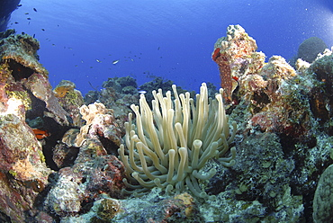 Bubbletip anemone (Condylactis gigantea) amidst coral and sponge reef, Cayman Islands, Caribbean