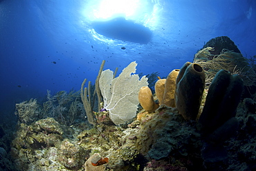 Looking upwards to well lit sponges, corals and sea fans with very blue water and boat silhouette, Little Cayman Island, Cayman Islands, Caribbean