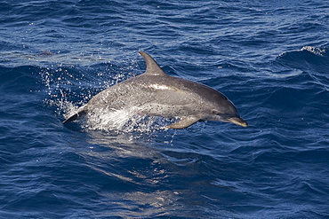 Atlantic spotted dolphin (Stenella frontalis) breaking from the sea in a low leap, Senegal, West Africa, Africa