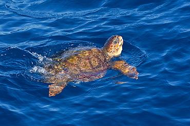 Juvenile loggerhead turtle (Caretta caretta) swimming with head raised above the sea surface, Senegal, West Africa, Africa