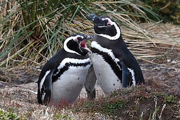 Magellanic penguin (Spheniscus magellanicus) pair resting in coastal habitat, Gypsy Cove, Falkland Islands, South America