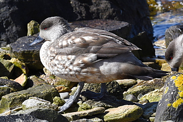 Patagonian crested duck (Lophonetta specularioides specularioides) on a stony beach, Falkland Islands, South America