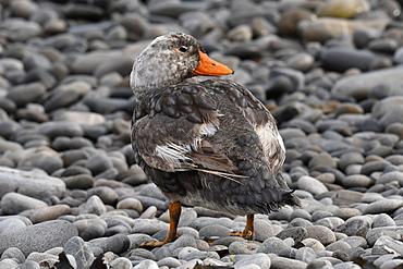Male Falkland steamer duck (Tachyeres brachypterus) standing on pebble beach, Falkland Islands, South America