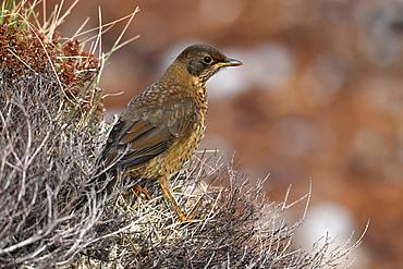 Juvenile Austral thrush (Turdus falcklandii) of the subspecies Falkland thrush (Turdus falcklandii falcklandii), Falkand Islands, South America