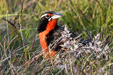 Long-tailed meadowlark (Leistes loyca) in its grassland habitat, Falkland Islands, South America
