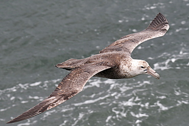 Southern giant petrel (Macronectes giganteus) flying low over the sea at Port William, Falkland Islands, South America