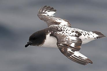 Close-up of a flying Cape petrel (Daption capense), South Georgia and the South Sandwich Islands, Polar Regions