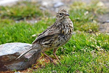 The endemic South Georgia pipit (Anthus antarcticus), the island's only passerine, King Edward Point, South Georgia, Polar Regions