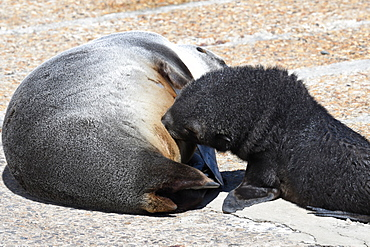 Antarctic fur seal (Arctocephalus gazella) pup suckling from its mother, King Edward Point, South Georgia, Polar Regions