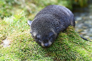 Very young dry Antarctic fur seal (Arctocephalus gazella) pup resting on a grassy mound, King Edward Point, South Georgia, Polar Regions