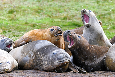 Agonistic behaviour in a tight group of moulting southern elephant seals (Mirounga leonina), Grytviken, South Georgia, Polar Regions
