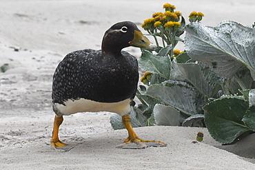 Female Falkland steamer duck (Tachyeres brachypterus) walking amongst vegetation on sandy beach, Falkland Islands, South America