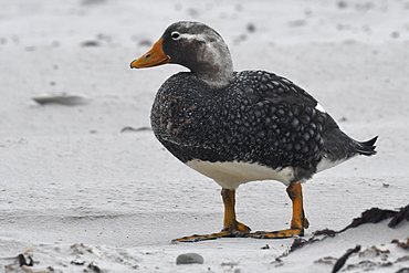 Male Falkland steamer duck (Tachyeres brachypterus) standing on a sandy beach, Volunteer Point, Falkland Islands, South America