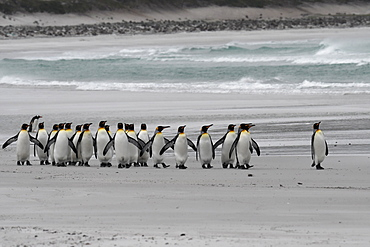 The march of the king penguins (Aptenodytes patagonicus) along the beach against rough seas at Volunteer Point, Falkland Islands, South America