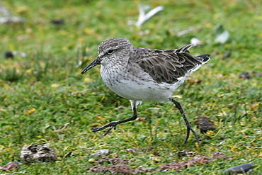 White-rumped sandpiper (Calidris fuscicollis), a long-distance migrant, foraging in grassland, Volunteer Point, Falkland Islands, South America