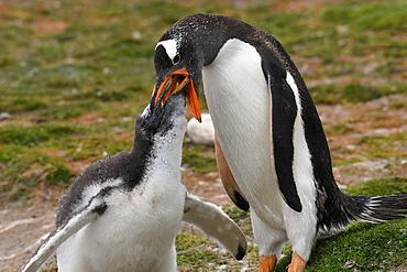 Gentoo penguin (Pygoscelis papua) feeding its chick, Volunteer Point, Falkland Islands, South America