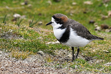 Portrait of a two-banded plover (Charadrius falklandicus) in sandy grassland, Volunteer Point, Falkland Islands, South America