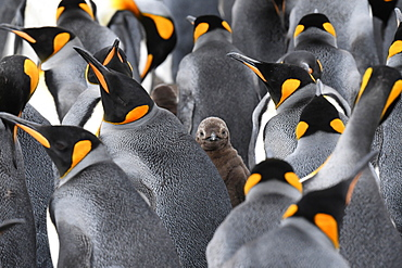 King penguin (Aptenodytes patagonicus) chick peering out between several adults, Volunteer Point, Falkland Islands, South America