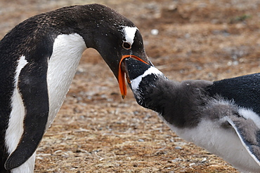Close-up of a gentoo penguin (Pygoscelis papua) feeding its chick, Volunteer Point, Falkland Islands, South America