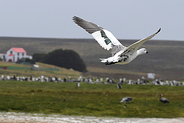 Male upland goose (Chloephaga picta) in flight in front of a penguin colony at Volunteer Point, Falkland Islands, South America