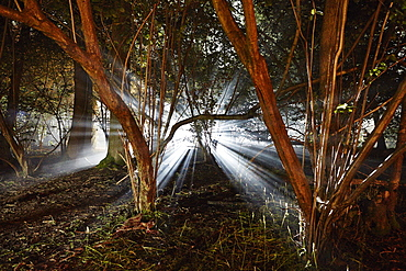 Eerie woods and the English countryside at night, light streaming through trees, England, United Kingdom, Europe