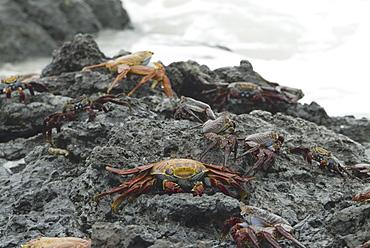 Sally lightfoot crab (Grapsus grapsus). Galapagos.