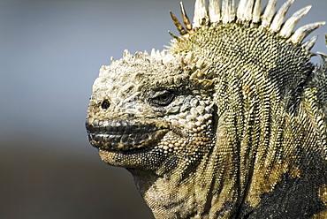 Galapagos marine iguana (Amblyrhynchus cristatus). Galapagos.