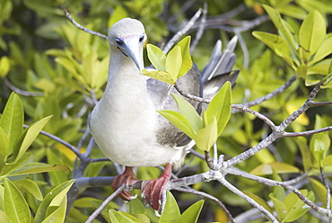 Red-footed booby (Sula sula). Galapagos.