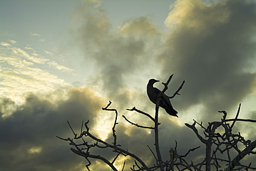 Sunset clouds background booby in tree. Galapagos.