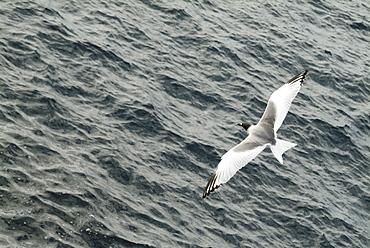 Swallow-tailed gull (Larus furcatus). Galapagos.