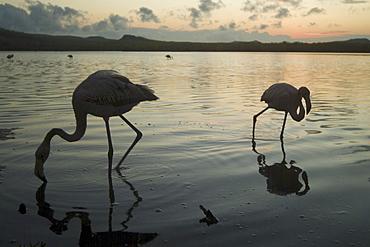 Galapagos Flamingo (Phoenicopterus ruber). Galapagos.