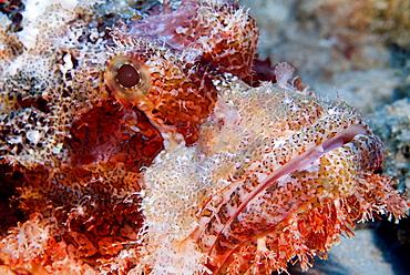 Bearded Scorpionfish (Scorpaenopsis barbata). Red Sea.