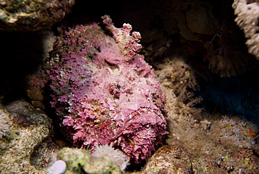 Stonefish (Synaceia verrucosa) said to be the world's most venomous fish. Found in many colours according to habitat. Probably also the worlds most adaptable camouflage system for a fish. Red Sea.