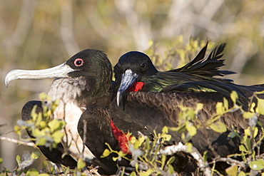 Great frigate bird (Fregata minor) nesting and breeding site on North Seymour Island in the Galapagos Island Group, Ecuador. Pacific Ocean.