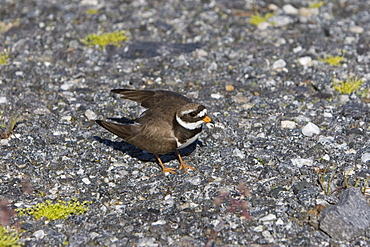 Adult ringed plover (Charadrius hiaticula) faking a broken wing in order to divert attention away from it's nest on the ground. Lovund, Norway in the Norwegian Sea.