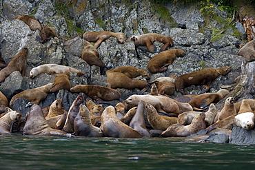 Northern (Steller) sea lion (Eumetopias jubatus) colony on sail rock in Frederick Sound, southeastern Alaska