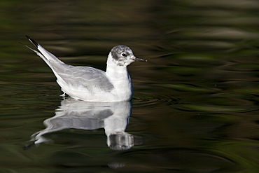 First summer coloration Bonaparte's gull (Larus philadelphia) in the calm waters of Takatz Bay on Baranof Island in Southeastern Alaska, USA. Pacific Ocean.