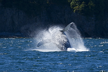 Adult humpback whale (Megaptera novaeangliae) breaching in Chatham Strait, southeast Alaska, USA.