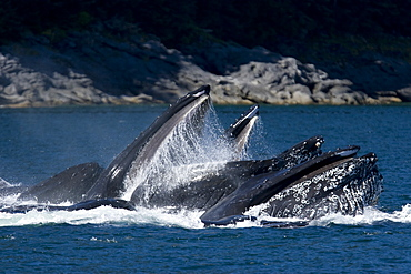 """A group of adult humpback whales (Megaptera novaeangliae) co-operatively """"bubble-net"""" feeding along the west side of Chatham Strait in Southeast Alaska, USA"""